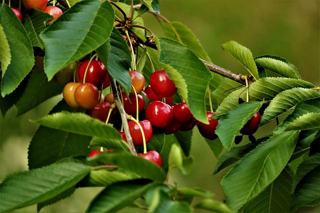 Kempen, Niederrhein, Home, Cherry, Sweet Cherry, Fruit