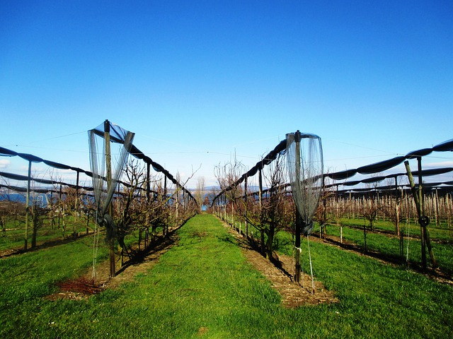 Fruit, Orchards, Orchard, Maintained, Protected, Sunny