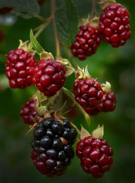 Blackberry, Berries, Panicle, Infructescence, Fruit