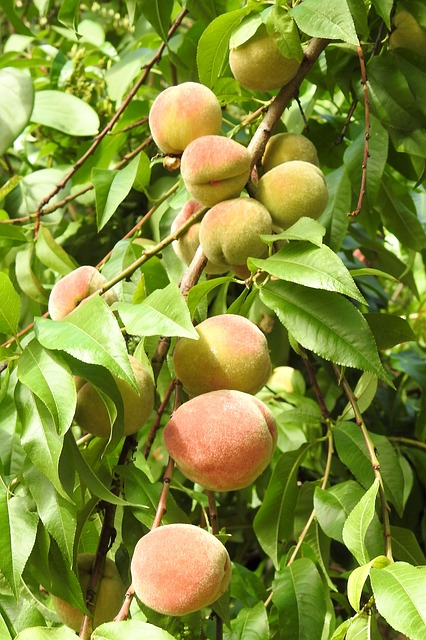 Peaches, Peach Tree, Fruit, Eat