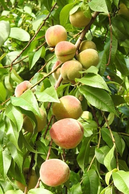 Peaches, Peach Tree, Fruit, Eat