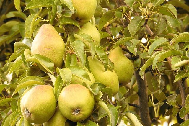 Pears, Pear, Green, Branch, Fruit