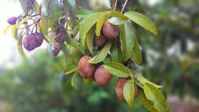 Sapodilla, Fruit