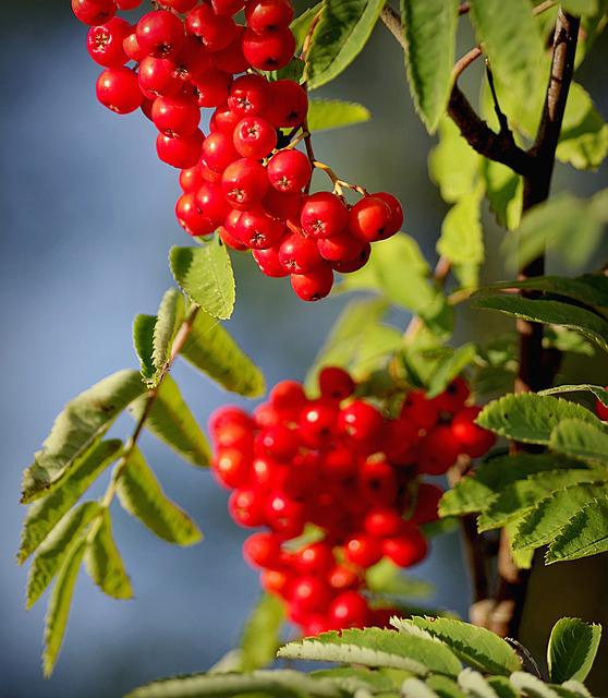 Rowan, Autumn, Chaplet, Fruit, Red, Sprig, Tree, Nature