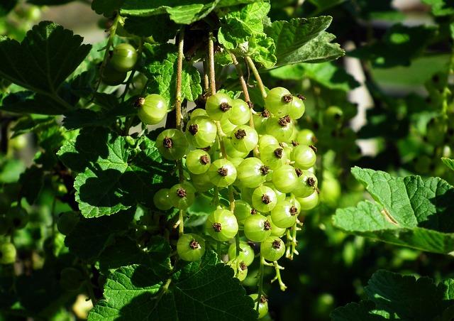 Currant, Maturing, Bush, Fruit, Spring, Garden