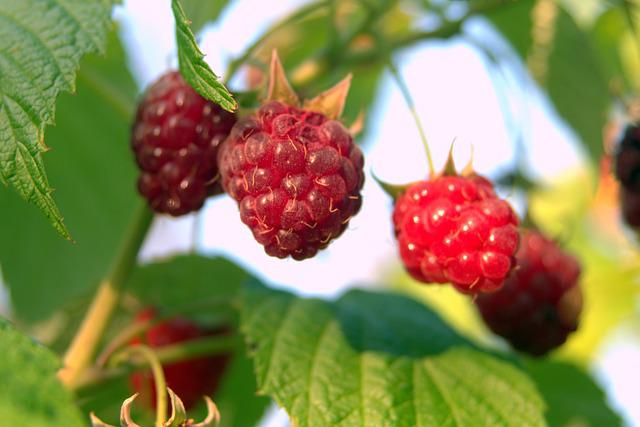 Raspberries, Red, Fruit, Sweet, Garden, Forest
