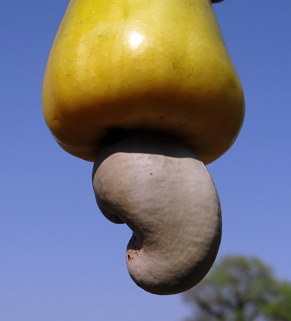 Cashew Nuts, Fruit, Tree, Anacardiaceae, Mango Family