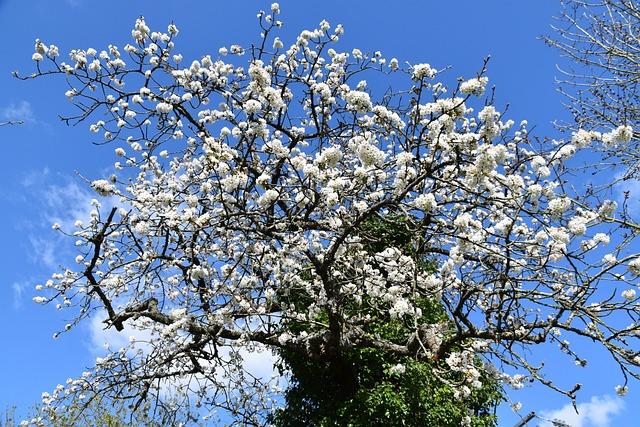 Flowers, Cherry Blossoms, Shrub Has Fruit, Fruit Tree