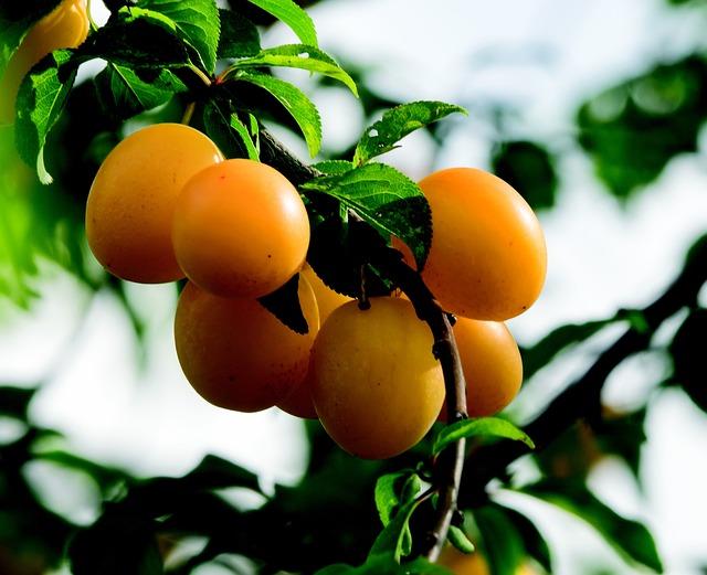 Plums, Fruit, Greengage, Mirabelle, Beadle, Fruit Tree