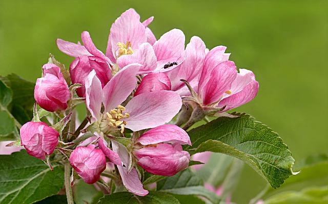 Blossom, Bloom, Pink, Apple Blossom, Malus, Fruit Tree
