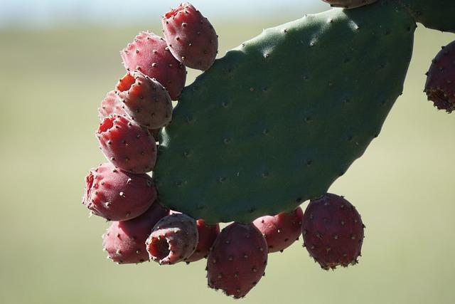 Velvety Tree Pear, Opuntia Tomentosa, Cactus, Fruit