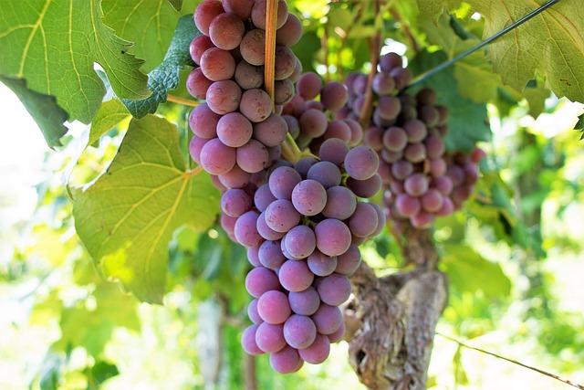 Uva, Fruit, Vine, Cacho, Wine, Healthy, Vineyard