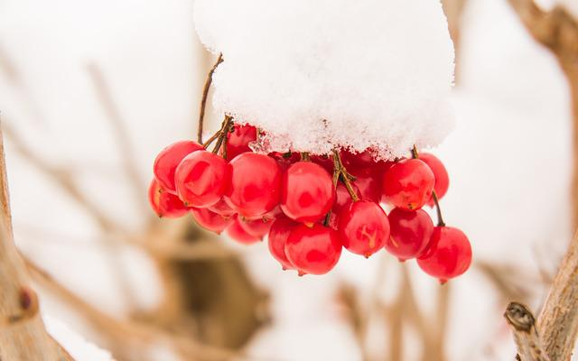 Snow, Dew, Close, Cold, White, Fruit, Snowy