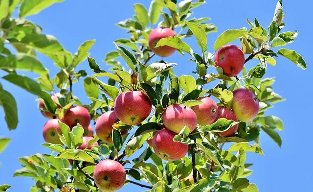 Apples, Fruits, Apple Tree, Harvest, Food, Fresh