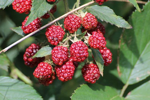 Blackberries, Rubus Sectio Rubus, Fruits, Berries