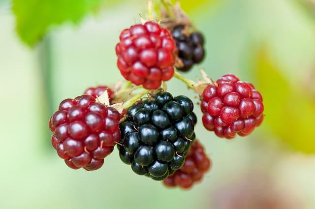 Blackberries, Berries, Rubus Sectio Rubus, Fruits, Ripe