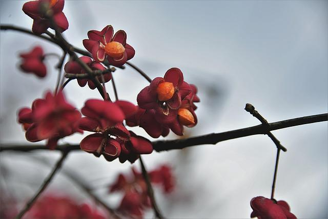 Spindle, Bush, Fruits, Toxic, Red