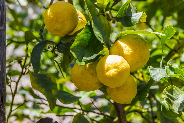 Lemons, Lemon, Lemon Tree, Fruit, Fruits, Citrus Fruits