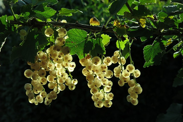 White Currant, Fruits, Berries, Currants