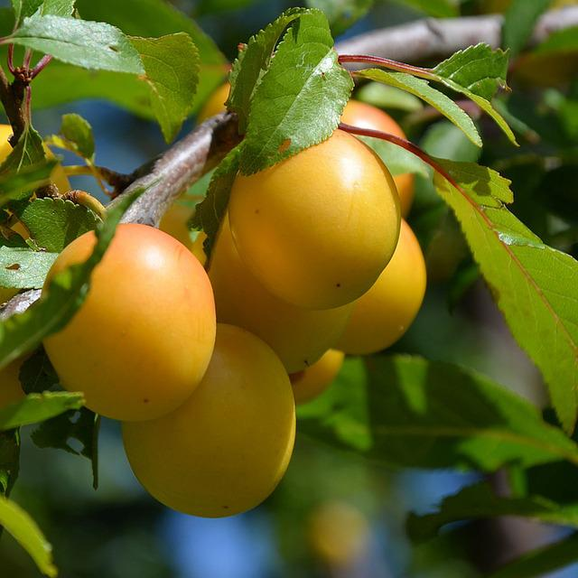 Yellow Plums, Fruit, Fruits, Delicious, Ripe, Yellow