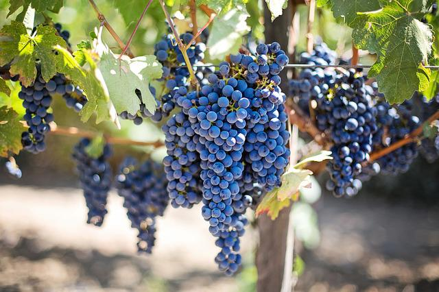 Grapes, Vines, Grapevine, Vineyard, Fruits, Organic