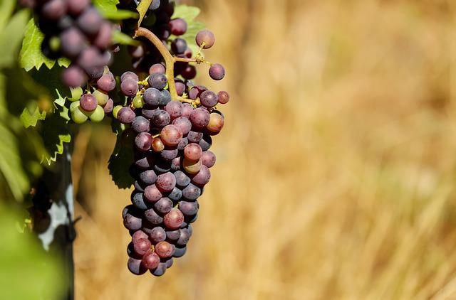 Grapes, Fruit, Fruits, Blue, Vine, Winegrowing