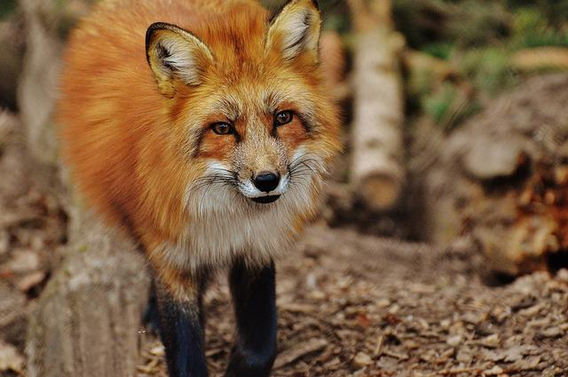 Fuchs, Wildpark Poing, Animal, Nature, Animal World