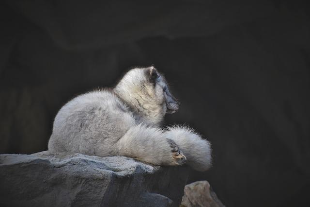 Arctic Fox, Fuchs, Wild Animal, Predator, White