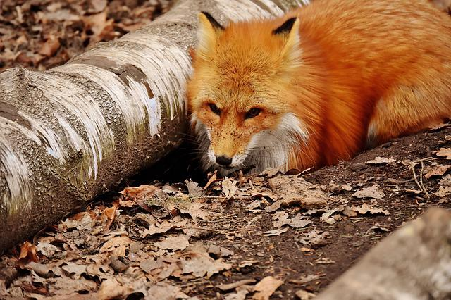 Fuchs, Dig A Hole, Wild Animal, Wildpark Poing