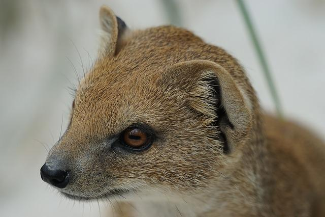 Fuchsmanguste, Mungo Type, Mammal, Predator