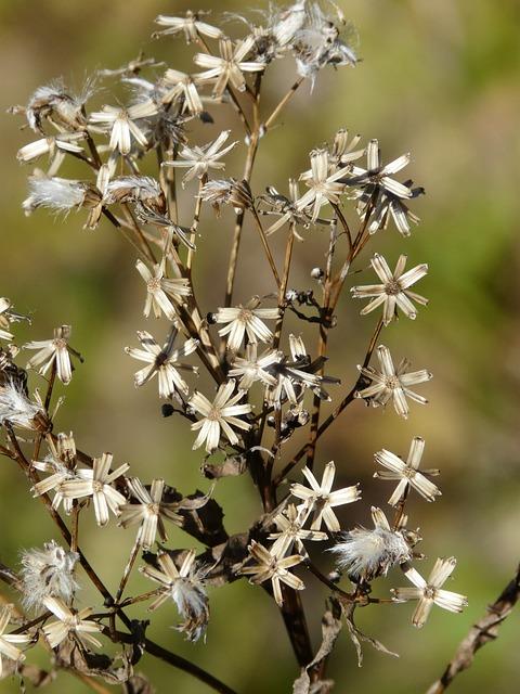 Fuchssches Greiskraut, Seeds, Senecio Ovatus