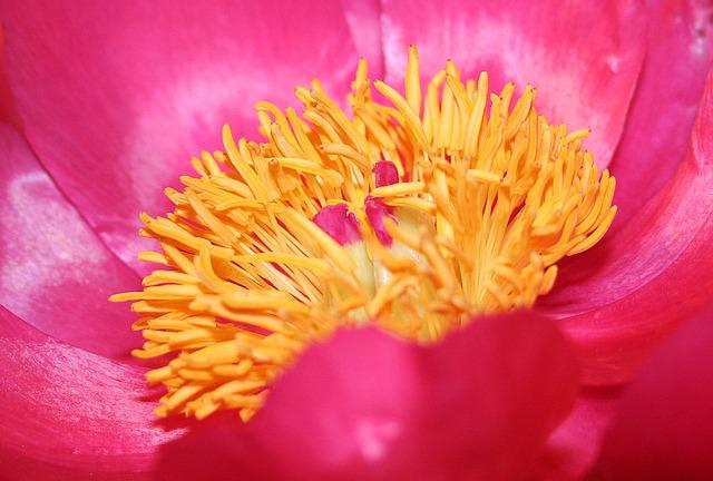 Red Peony, Blossom, Bloom, Flora, Spring, Full Bloom