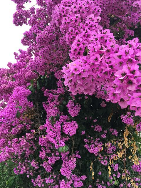 Blossom, Bloom, Spring, Rhododendron, Full Bloom