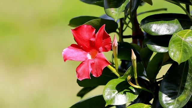 Mandevilla, Dipladenia, Funnel Flower, Trumpet Shaped
