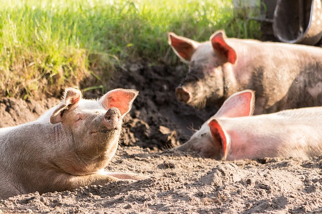 Pigs, Cute, Funny, Dirty, Animals, Happy, Face