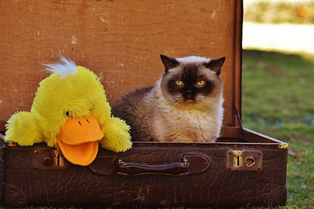 Luggage, Antique, Cat, British Shorthair, Duck, Funny