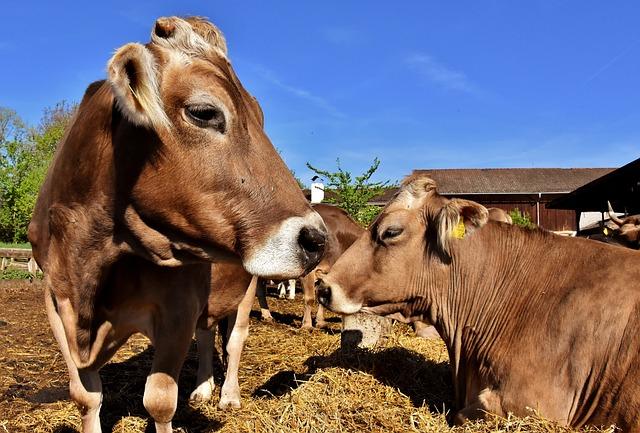 Cow, Beef, Snout, Fisheye, Funny, Hoofed Animals