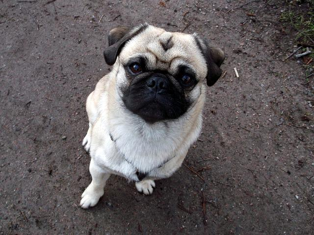 Pug, Purebred Dog, Beige, Cute, Funny
