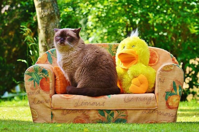 Mieze, Couch, Sofa, Duck, Cat, British Shorthair, Funny