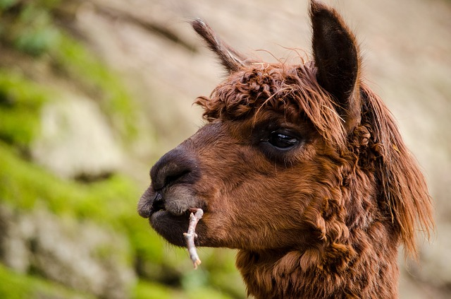Alpaca, South America, Brown, Funny, Spit, Animal
