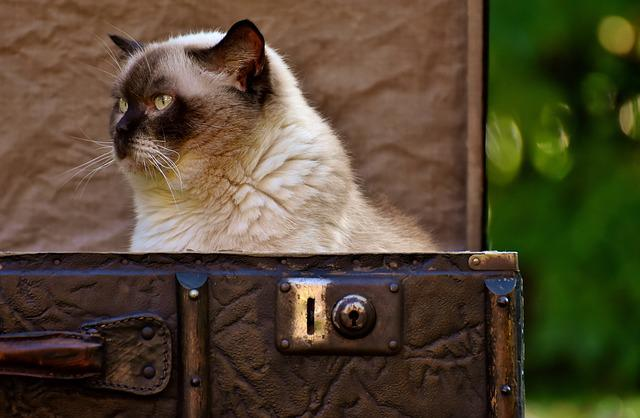 Cat, British Shorthair, Cute, Funny, Sweet, Luggage