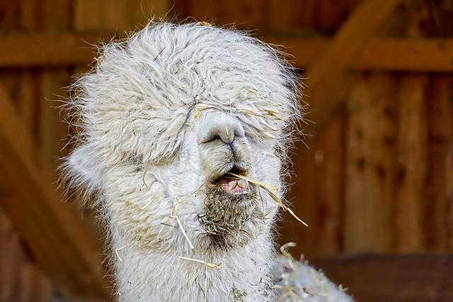 Zoo, Mammal, Lama, Portrait, Funny