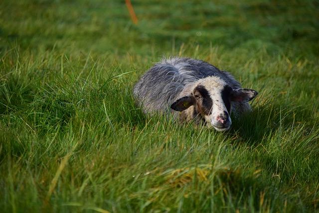 Sheep, Black, Livestock, Animal, Wool, Black Sheep, Fur