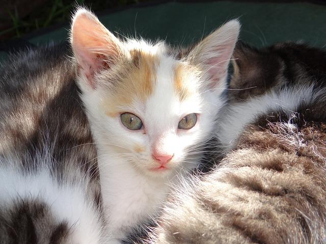 Animal, Cat, Baby, Pet, Cute, Fur, Cat Baby