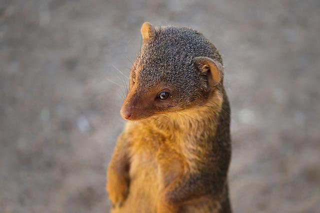 Mongoose, Animal, Brown, Fur, Close Up, Portrait