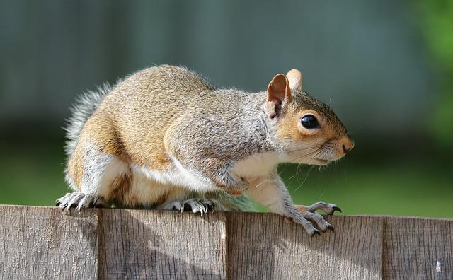 Squirrel, Grey, Brown, Fur, Cute, Mammal, Rodent