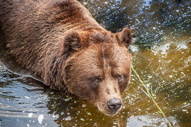 Brown Bear, Water, Close Up, Eyes, Fur, Ears, Snout