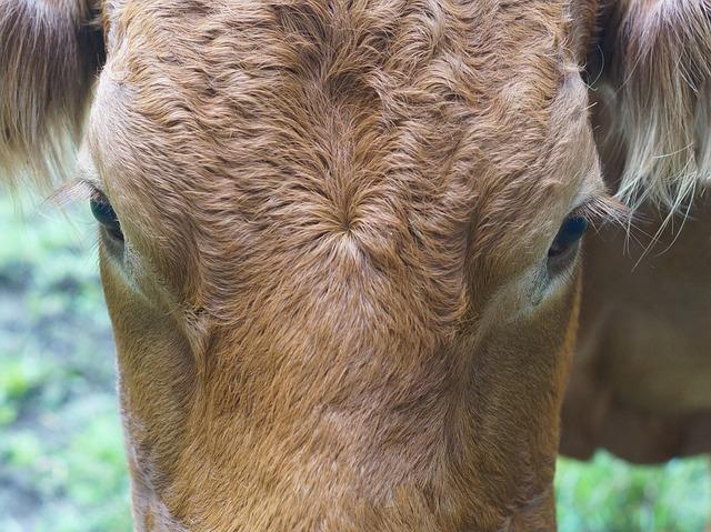 Cow, Face, Close, Agriculture, Milk, Cattle, Farm, Fur