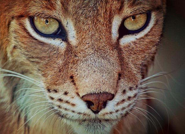 Lynx, Predator, Cat, Animal, Animal Portrait, Face, Fur