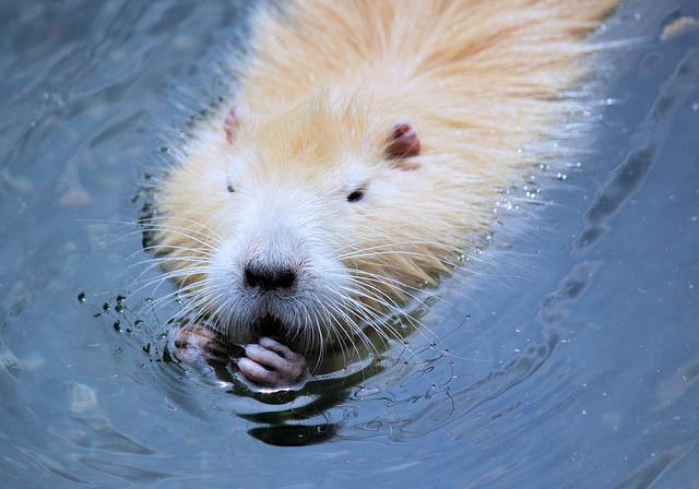 Nutria, Rodent, Gold, Water, Fur, Floats, Animal
